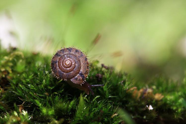 Ciliella ciliata © Damien Combrisson - Parc national des Ecrins
