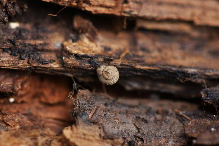 Vallonia costata © Damien Combrisson - Parc national des Ecrins