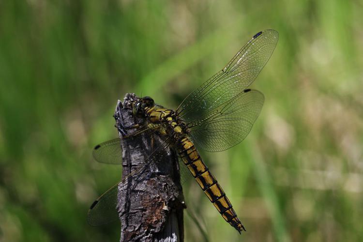 orthetrum cancellatum © Damien Combrisson - Parc national des Ecrins