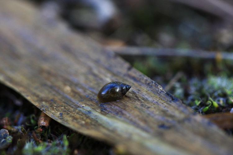 Physella acuta © Damien Combrisson - Parc national des Ecrins