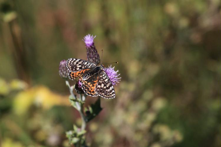 Melitaea phoebe © Marc Corail - Parc National des Ecrins