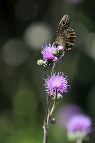 Erebia aethiops © Mireille Coulon - Parc National des Ecrins