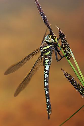 Aeshna juncea © Damien Combrisson - Parc national des Ecrins