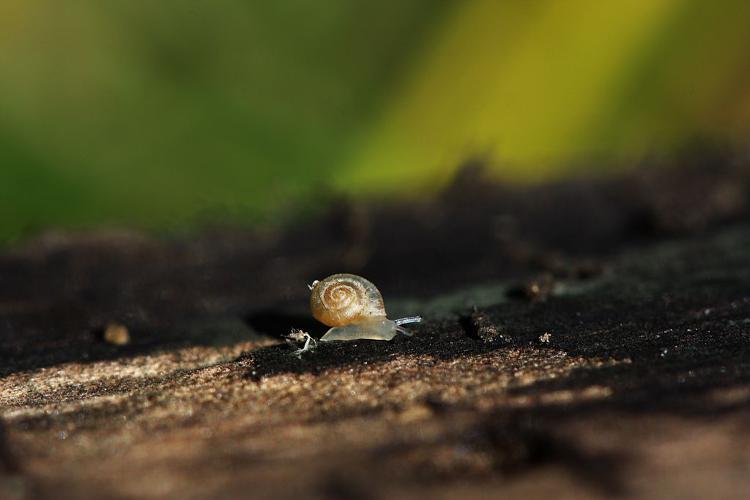 Vallonia pulchella © Damien Combrisson - Parc national des Ecrins