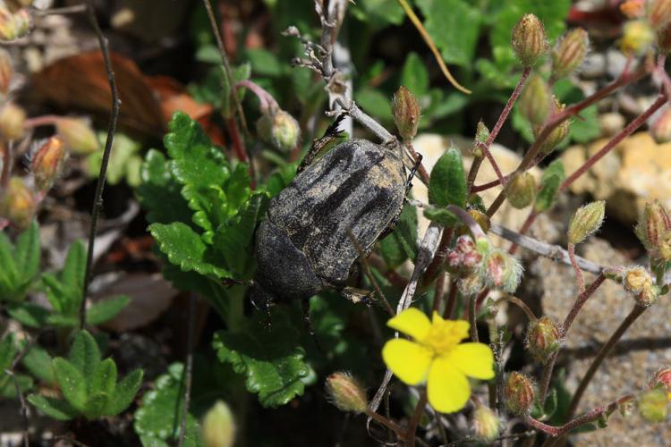 Netocia morio © Damien Combrisson - Parc national des Ecrins