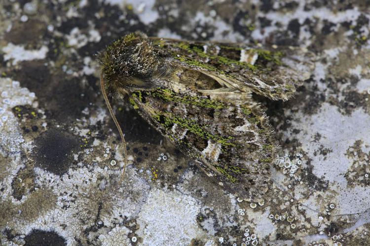 Valeria jaspidea © Marc Corail - Parc national des Ecrins