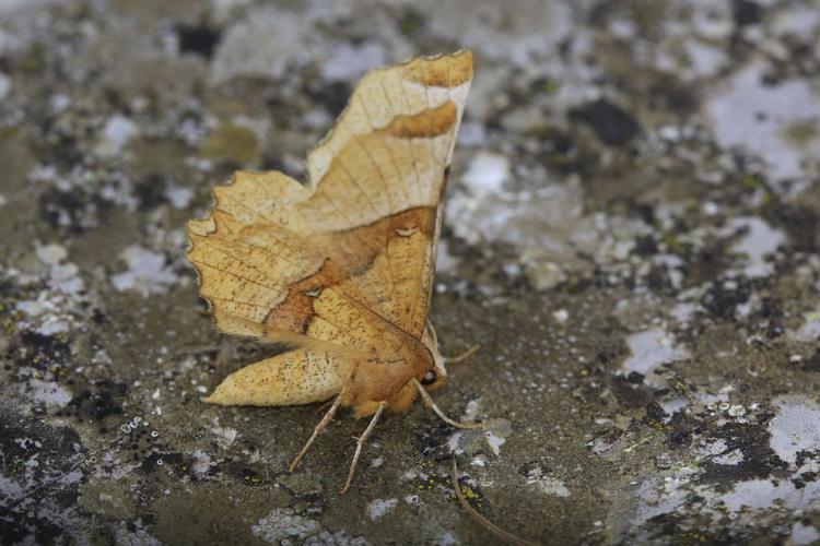 Selenia lunularia © Marc Corail - Parc national des Ecrins