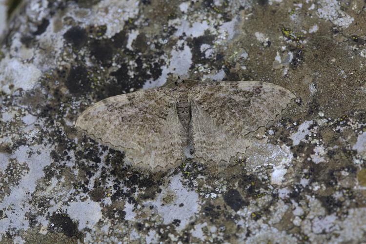 Rheumaptera cervinalis © Marc Corail - Parc national des Ecrins