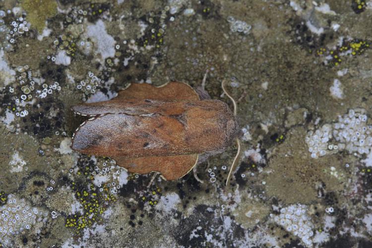 Phyllodesma tremulifolia © Marc Corail - Parc national des Ecrins