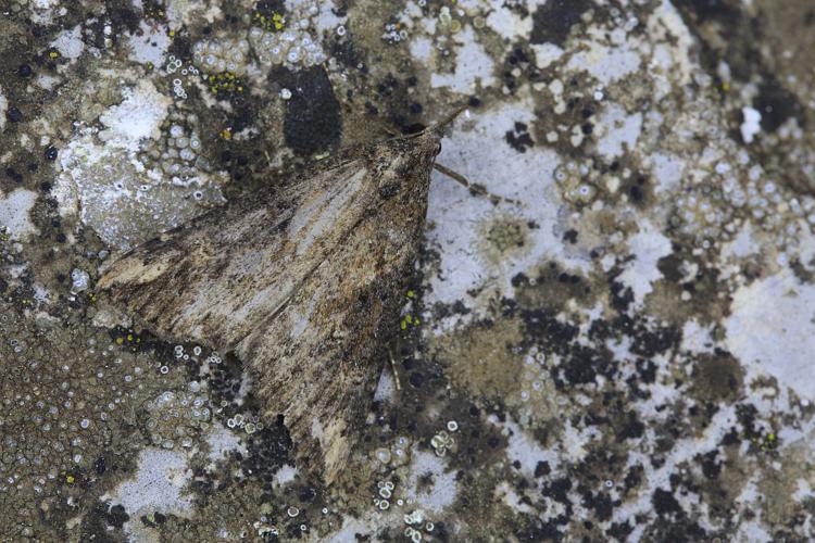 Hypena obesalis © Marc Corail - Parc national des Ecrins