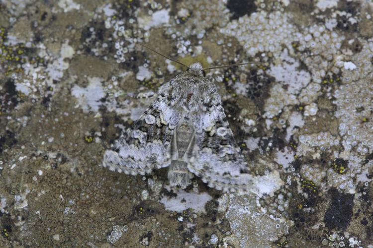 Hecatera bicolorata © Marc Corail - Parc national des Ecrins