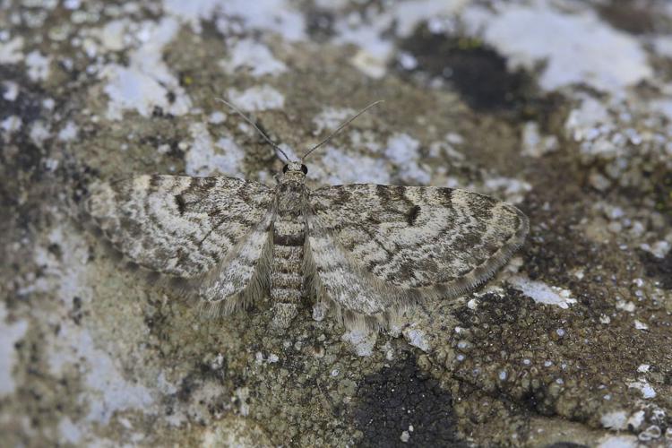 Eupithecia pusillata © Marc Corail - Parc national des Ecrins