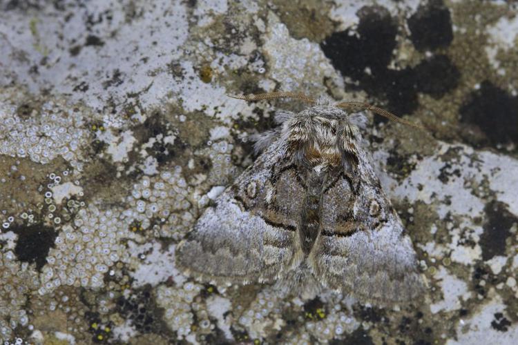 Colocasia coryli © Marc Corail - Parc national des Ecrins