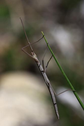 Leptynia hispanica © Damien Combrisson - Parc national des Ecrins
