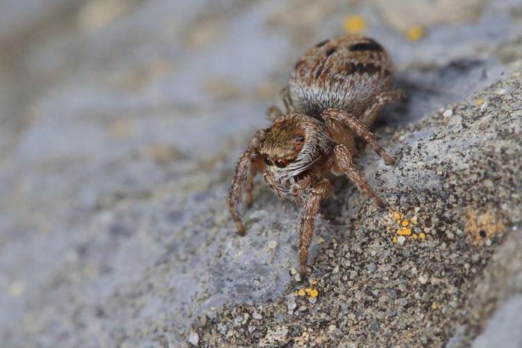 Evarcha jucunda © Marc Corail - Parc National des Ecrins