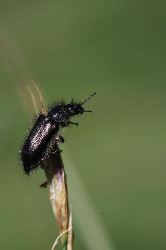 Enicopus ater © Damien Combrisson - Parc national des Ecrins