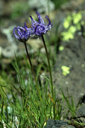 Raiponce hémisphérique © Cédric Dentant - Parc national des Ecrins