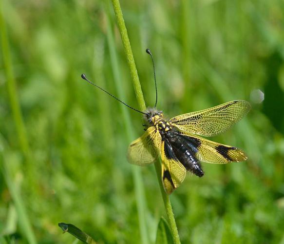 Ascalaphe ambré © Mireille Coulon - Parc national des Ecrins