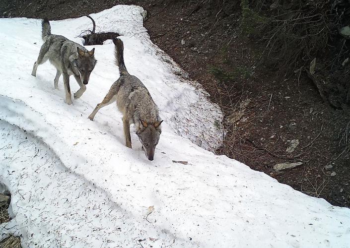 Loup gris des Ecrins © Ludovic Imberdis - Parc national des Ecrins