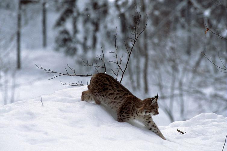 Lynx boréal © Robert Chevalier - Parc national des Ecrins