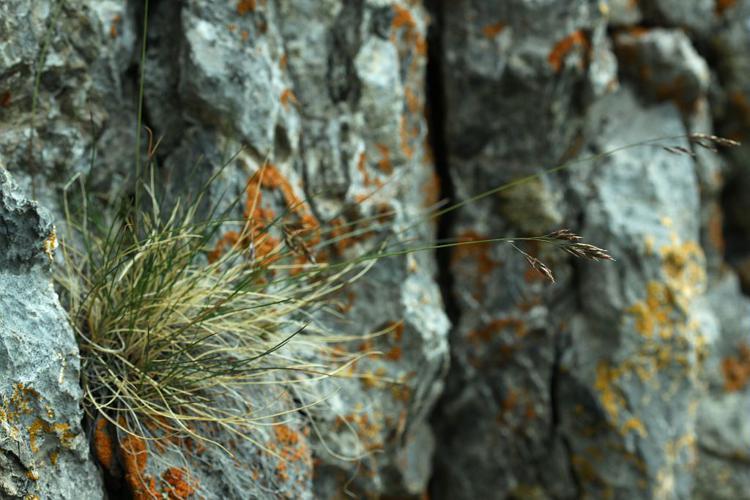Fétuque à quatre fleurs © Cédric Dentant - Parc national des Ecrins