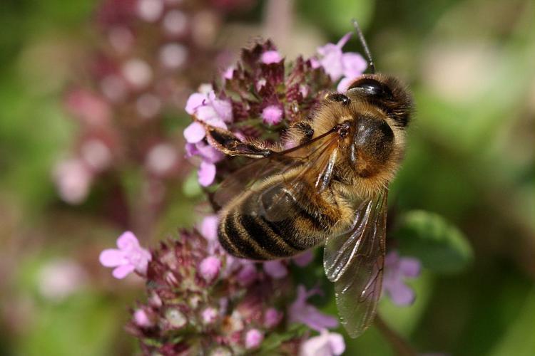 Abeille domestique, Abeille européenne, Abeille mellifère, Mouche à miel © Marc Corail - Parc national des Ecrins