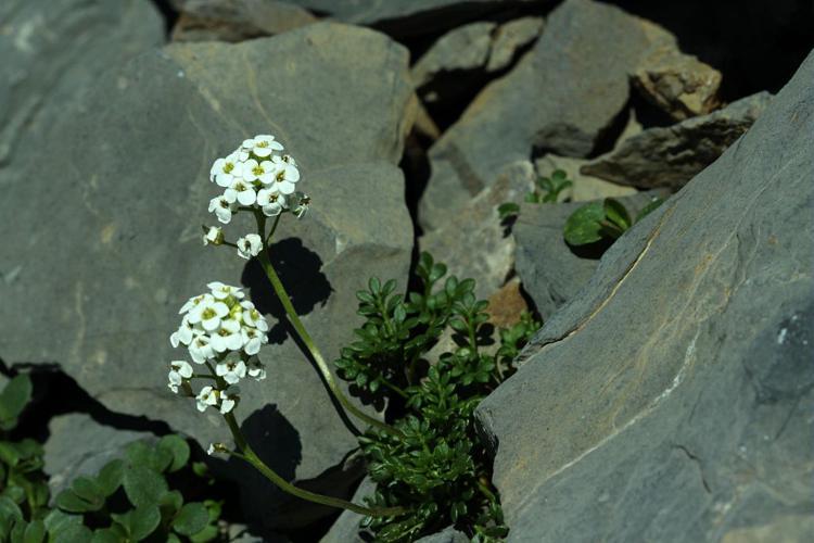 Hornungie des pierres, Hutchinsie des pierres © Cédric Dentant - Parc national des Ecrins