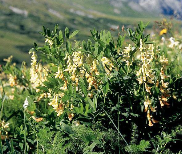 Gesse de l'Occident, Gesse jaune © Bernard Nicollet - Parc national des Ecrins