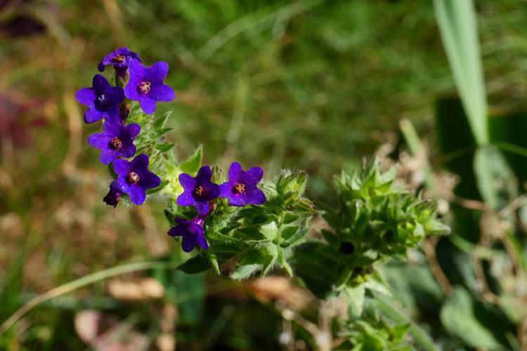 Buglosse officinale © Marie-Geneviève Nicolas - Parc national des Ecrins