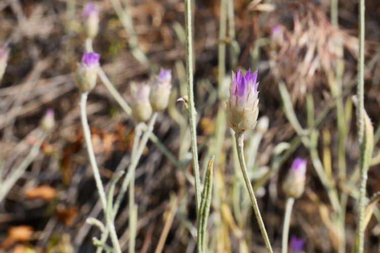 Immortelle à fleurs fermées © Marie-Geneviève Nicolas - Parc national des Ecrins