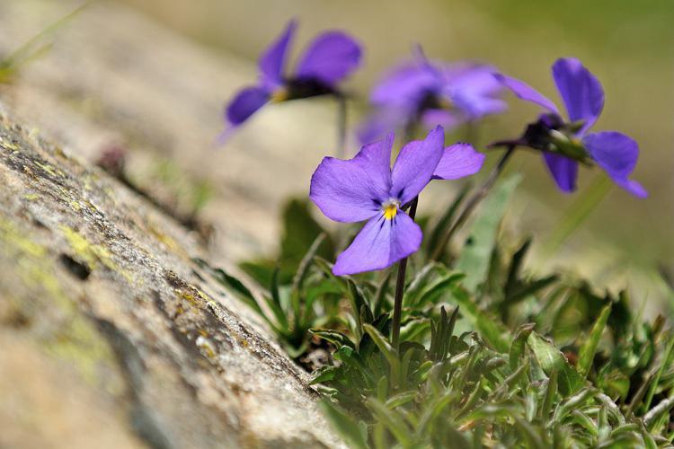 Pensée éperonnée © Mireille Coulon - Parc national des Ecrins