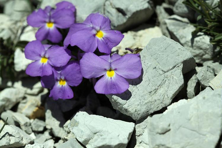 Violette du Mont Cenis © Cédric Dentant - Parc national des Ecrins