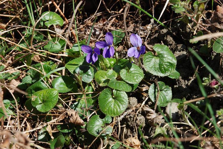 Violette des Pyrénées © Bernard Nicollet - Parc national des Ecrins