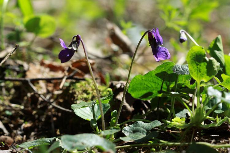 Violette odorante © Cédric Dentant - Parc national des Ecrins