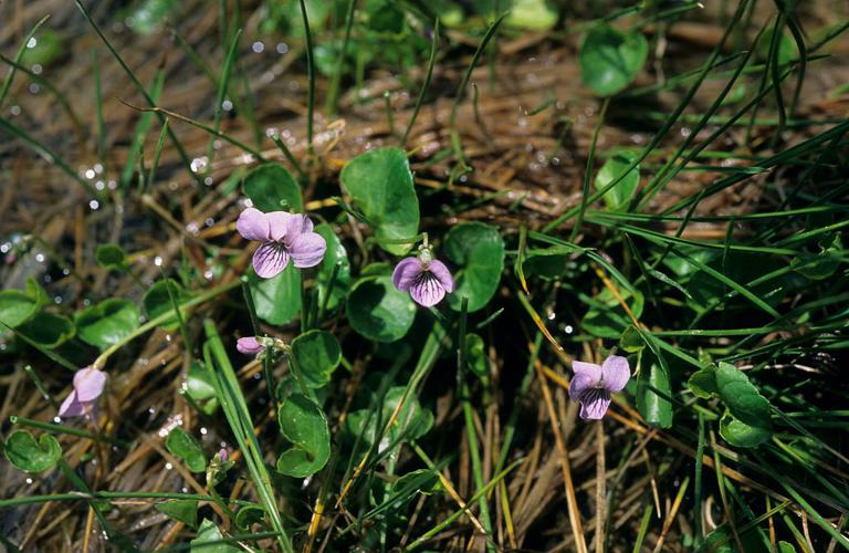 Violette des marais © Bernard Nicollet - Parc national des Ecrins