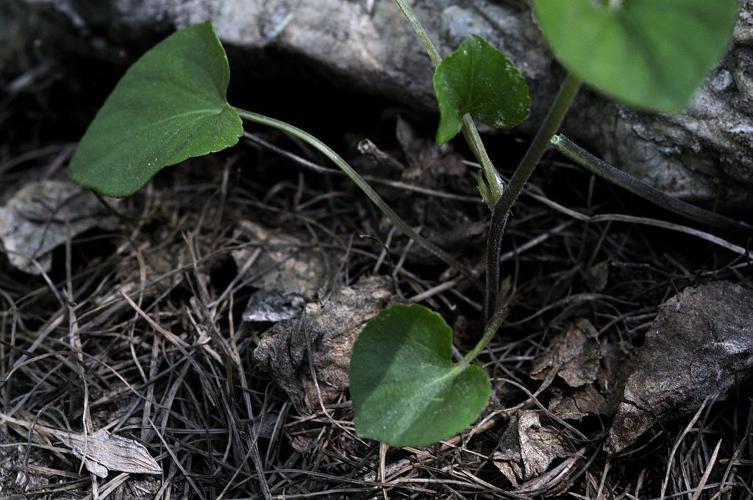 Viola laricicola Marcussen, 2003 © Mireille Coulon - Parc national des Ecrins