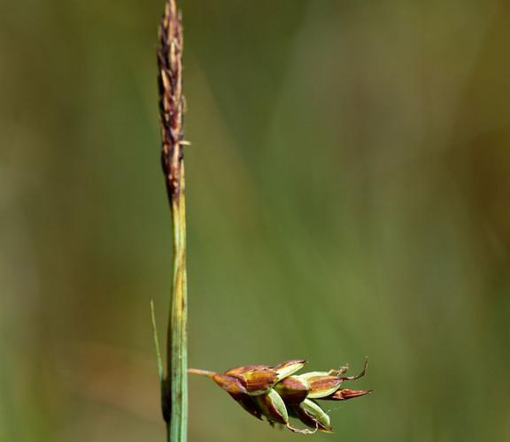Laîche des tourbières, Laîche des vases, Laîche des bourbiers © Cédric Dentant - Parc national des Ecrins
