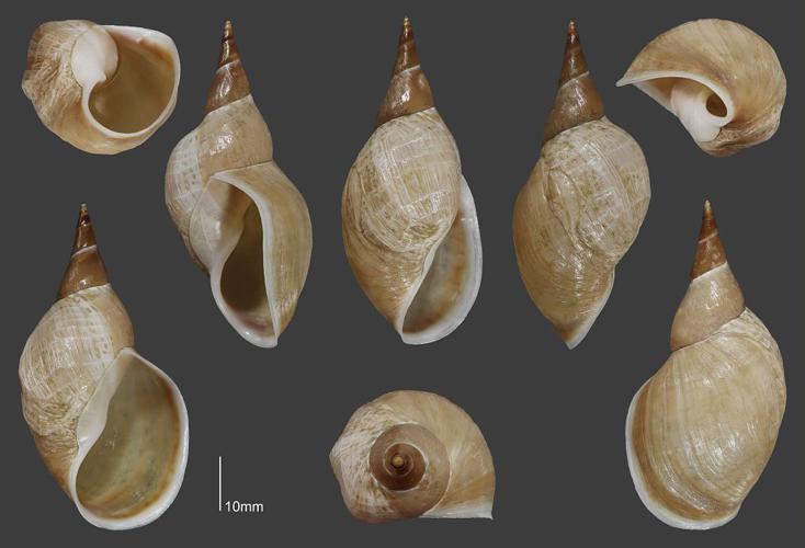 Grande limnée - Collection malacologique du Parc national des Ecrins © Claude et Amandine Evanno - Parc national des Ecrins