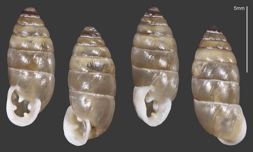 Bulime inverse - Collection malacologique du Parc national des Ecrins © Claude et Amandine Evanno - Parc national des Ecrins