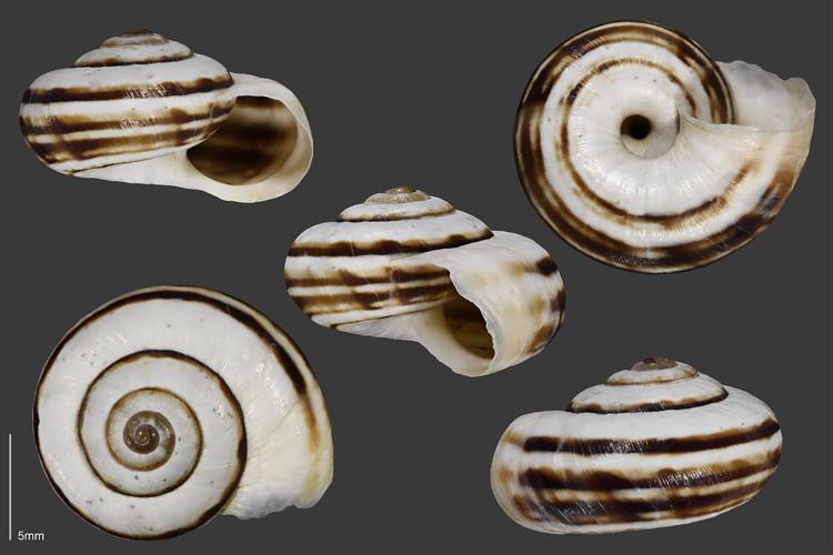 Caragouille élargie - Collection malacologique du Parc national des Ecrins © Claude et Amandine Evanno - Parc national des Ecrins
