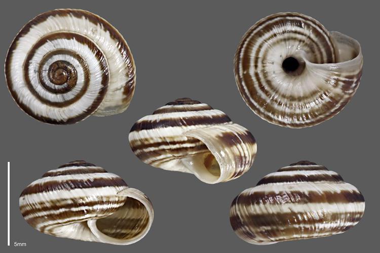Hélicette du thym - Collection malacologique du Parc national des Ecrins © Claude et Amandine Evanno - Parc national des Ecrins