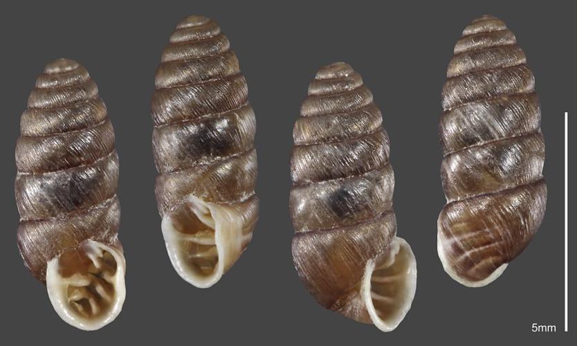 Maillot seigle - Collection malacologique du Parc national des Ecrins © Claude et Amandine Evanno - Parc national des Ecrins