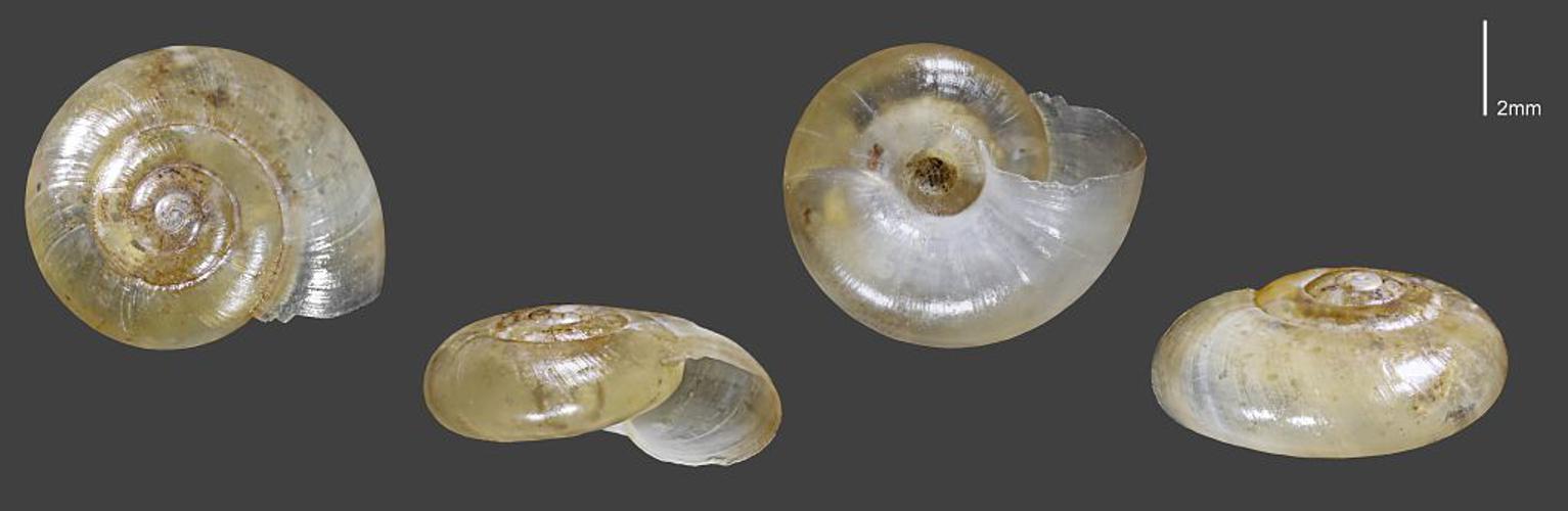 Luisantine intermédiaire - Collection malacologique du Parc national des Ecrins © Claude et Amandine Evanno - Parc national des Ecrins