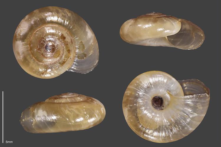 Luisantine ample - Collection malacologique du Parc national des Ecrins © Claude et Amandine Evanno - Parc national des Ecrins