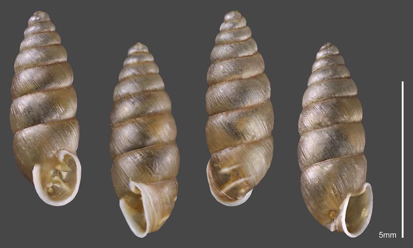 Maillot montagnard - Collection malacologique du Parc national des Ecrins © Claude et Amandine Evanno - Parc national des Ecrins