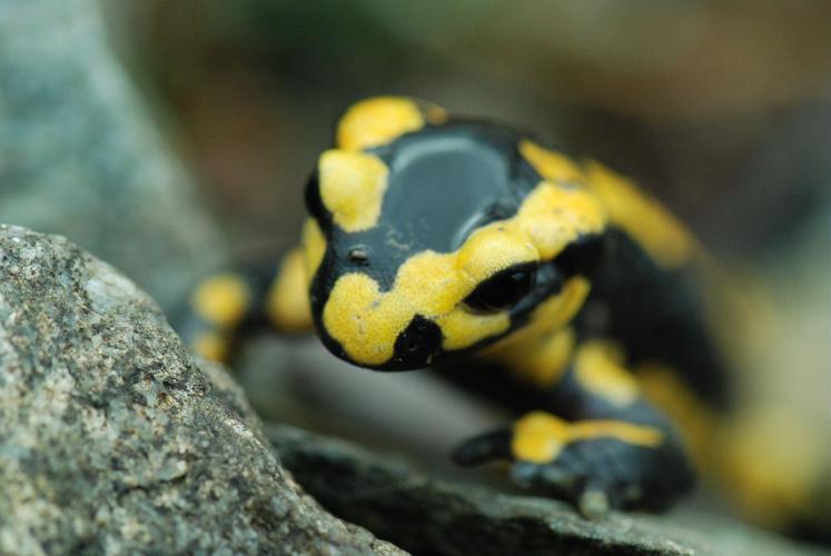 Salamandre sur le sentier de l'Olan © Olivier Warluzelle - Parc national des Ecrins