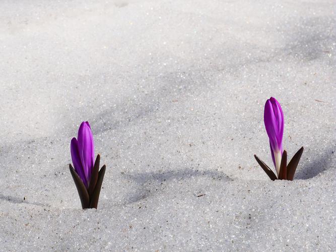 Bulbocode du printemps © Marie-Geneviève Nicolas - Parc national des Ecrins