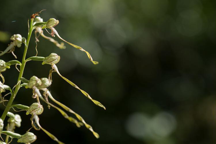Orchis bouc, Himantoglosse à odeur de bouc © Thierry Maillet - Parc national des Ecrins