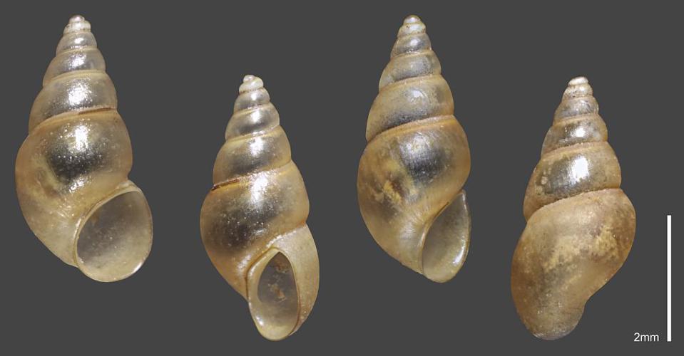 Hydrobie des antipodes - Collection malacologique du Parc national des Ecrins © Claude et Amandine Evanno - Parc national des Ecrins