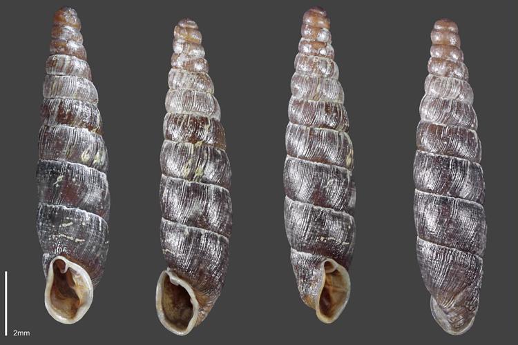 Clausilie commune - Collection malacologique du Parc national des Ecrins © Claude et Amandine Evanno - Parc national des Ecrins